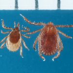 I. scapularis and Longhorned tick