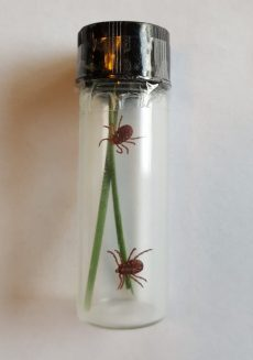 Ticks with blades of grass in a jar