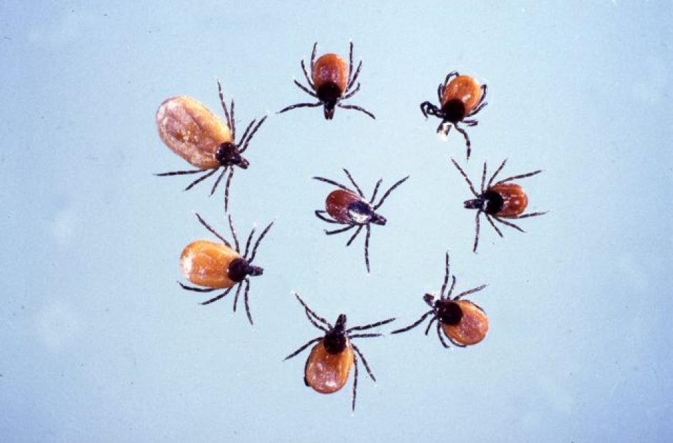 what do deer ticks look like?