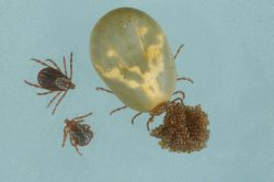American Dog Tick. Unengorged female (and male) alongside a gravid (mated and replete) female that is ovipositing (laying eggs). Photo Credit: James Occi, (PhD cand.) LDA Scientific & Professional Advisory Board