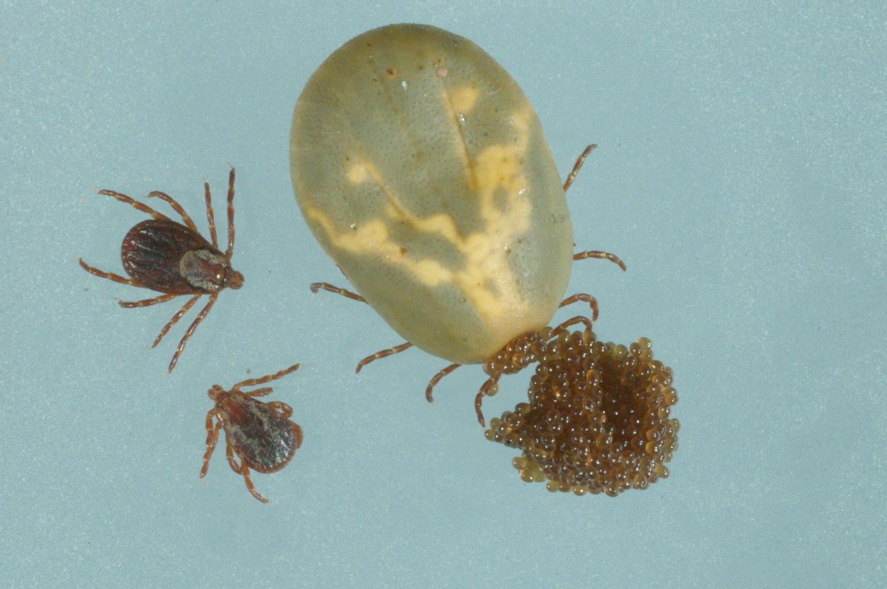 Occi oviposit5099