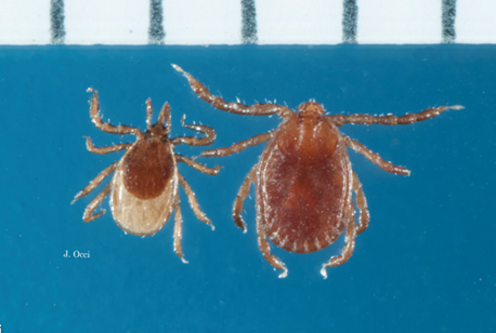 2018 occi scapularis and longicornis ticks