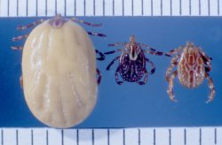 Gulf Coast ticks. Engorged female, adult female, adult male. Photo: James Occi, (PhD cand.) LDA Scientific & Professional Advisory Board
