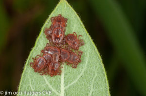Longhorned Ticks. Photo by James Occi, (PhD cand.) LDA Scientific & Professional Advisory Board