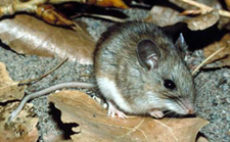 white-footed_mouse_cdc